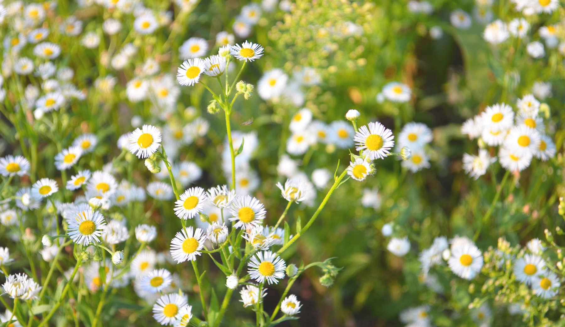 Flowering daisies. Chamomile, white Leucanthemum vulgare.